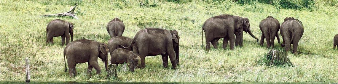 Éléphant Inde