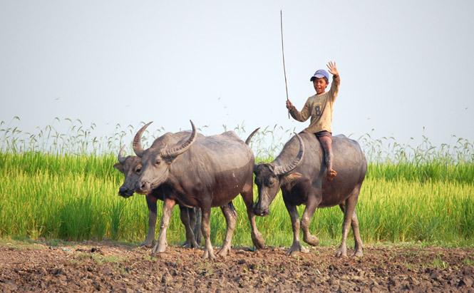 enfant buffle rizieres cambodge