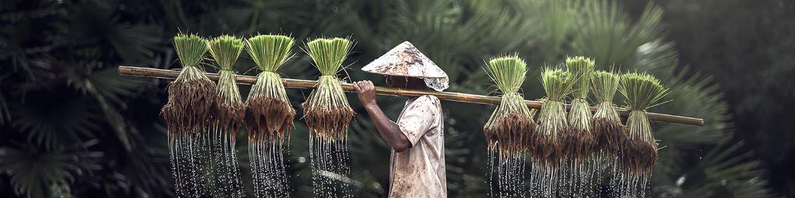 homme-riz-vietnam