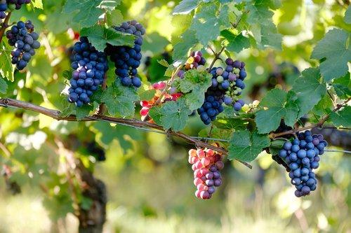 excursion-napa-sonoma-et-visite-des-champs-vinicole