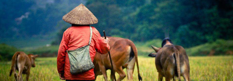 Un-berger-et-ses-buffle-sur-le-champs-de-riz