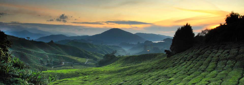 Découvrez les fabuleuses plantations de thé à Cameron Highlands