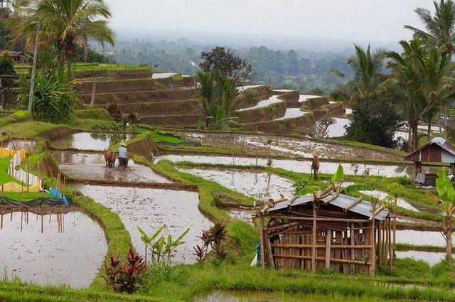 a-indonesie-bali-ubud-rizieres-10-go