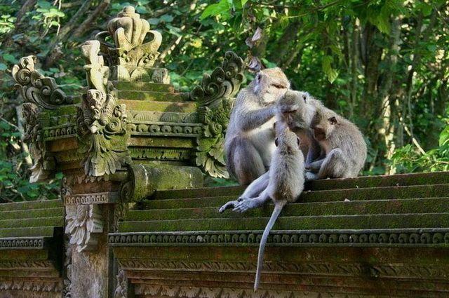 a-indonesie-bali-ubud-singes-2-go