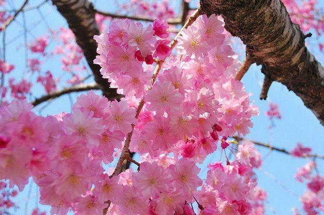 a-japon-osaka-cerisier-sakura-2-go